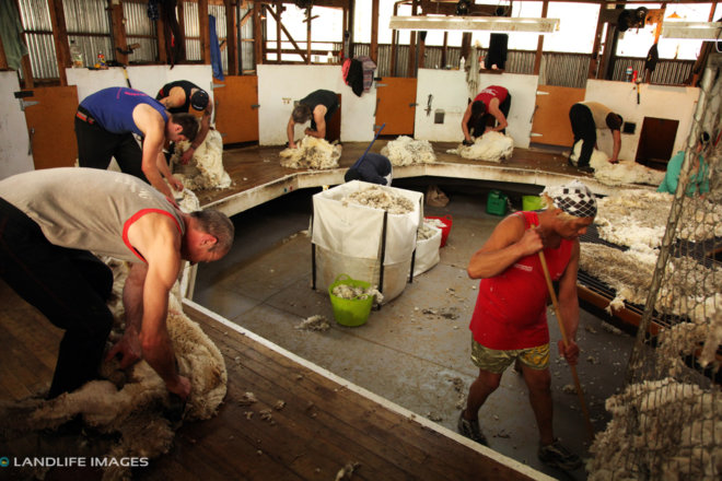 Shearing, North Canterbury, New Zealand