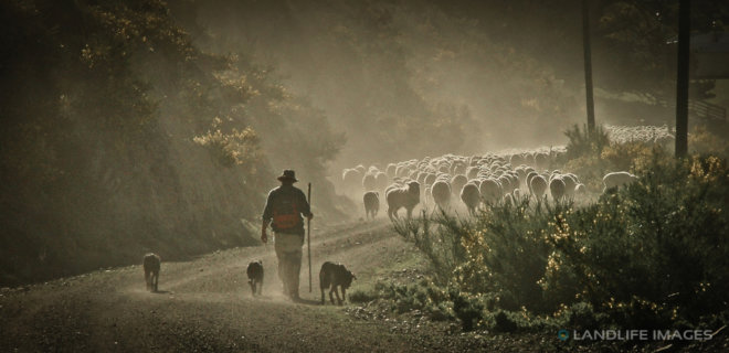 Driving the ewes home, North Canterbury High Country, New Zealand