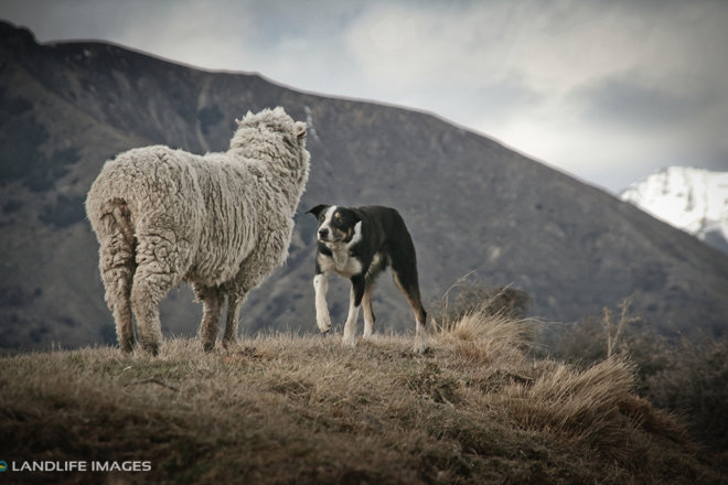 Boss Dog and a stubborn merino sheep, North Canterbury High Country, New Zealand