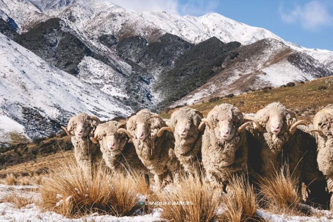 Merino Sheep line-up in front of snowy mountains, North Canterbury, New Zealand