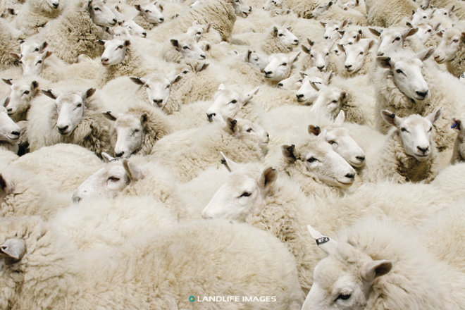 Mob of sheep in yards, New Zealand
