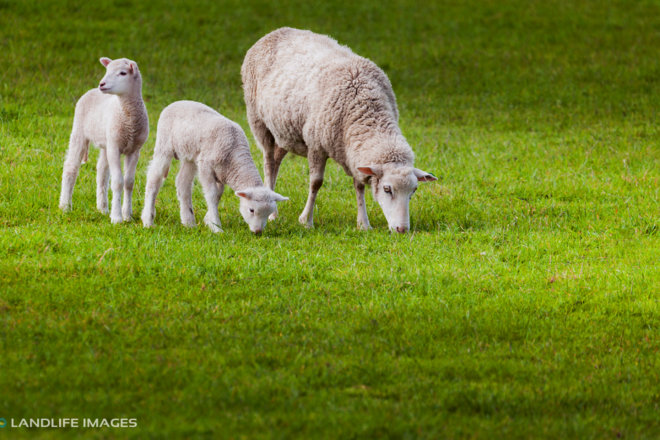 Ewe and her twins, Canterbury, New Zealand