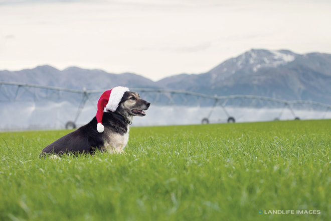 Christmas Farm Dog, Methven, New Zealand