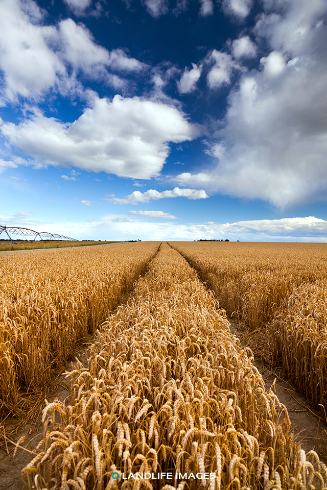 Path through wheat, Methven, New Zealand