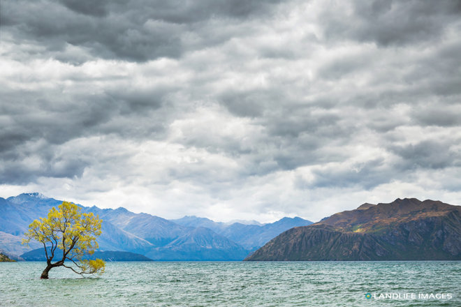 That Wanaka Tree on a Cloudy Day in Summer, Wanaka, New Zealand