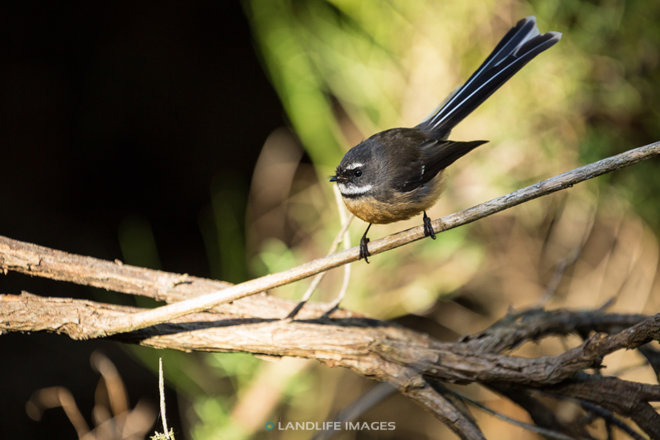 Fantail (pīwakawaka) on branch