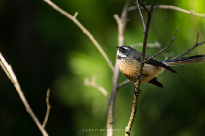 New Zealand Fantail (pīwakawaka) looking to the sky