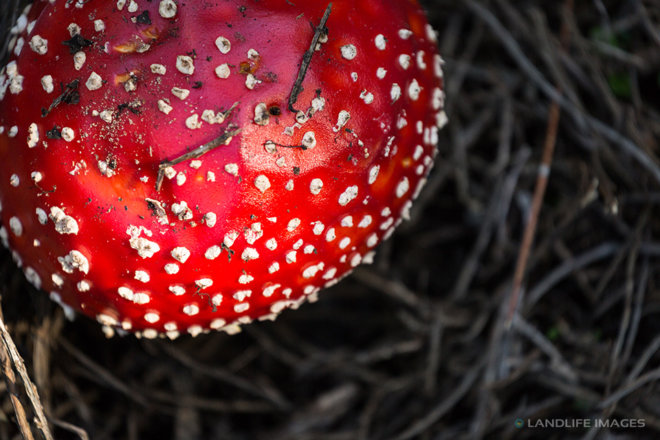 Fly agaric toadstool