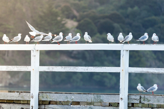 Seagull Line-up, Banks Peninsula, New Zealand