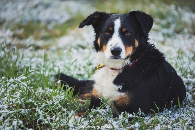 Snowy farm dog, Methven, New Zealand