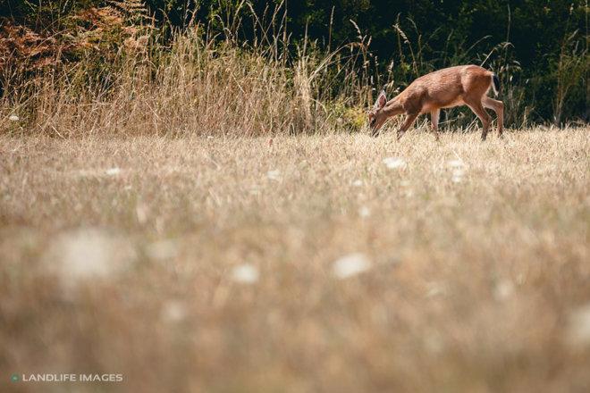 Deer, San Juan Islands