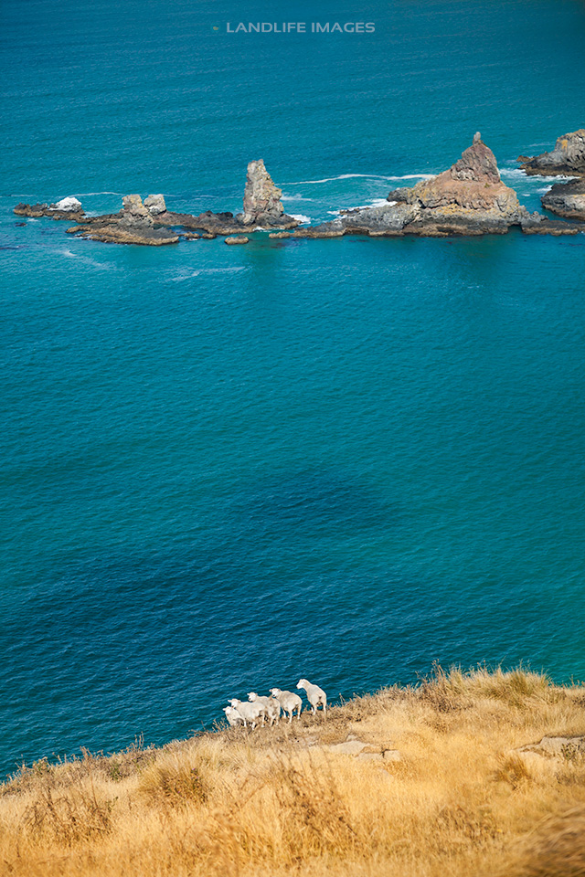 Cliffside Sheep, Banks Peninsula, New Zealand