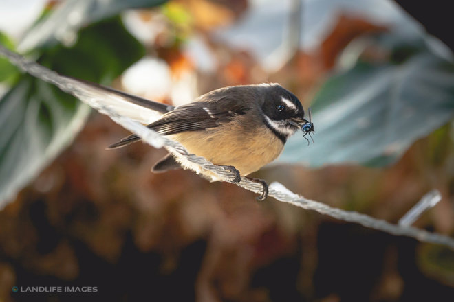 Fantail (pīwakawaka) with a fly for dinner, New Zealand