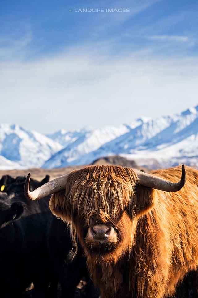 Nice Hair Mate! Highland Cattle