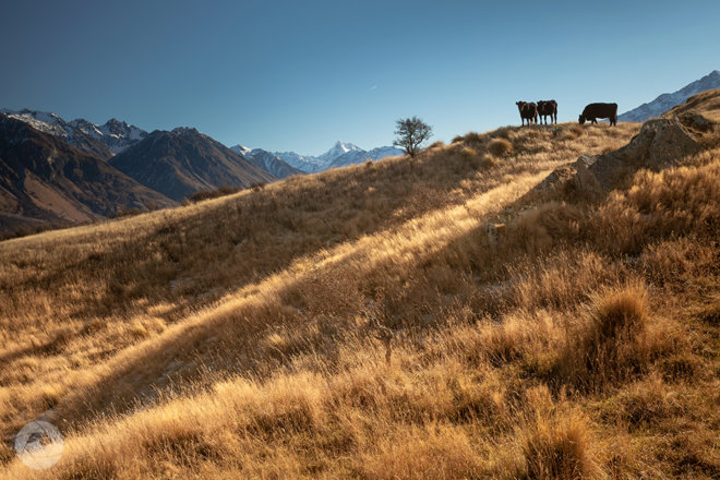 Beef cattle up Mt Sunday, Mid-Canterbury, New Zealand