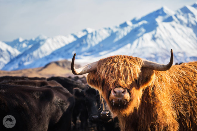 Highland cow against snowy backdrop, Mid-Canterbury, New Zealand, landscape