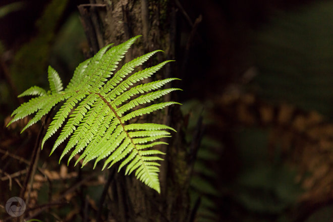 Fern in native forest, Catlins, New Zealand