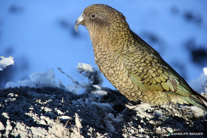 Kea, New Zealand's Native Alpine Parrot