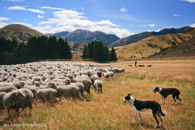 Mustering sheep, North Canterbury High Country, New Zealand