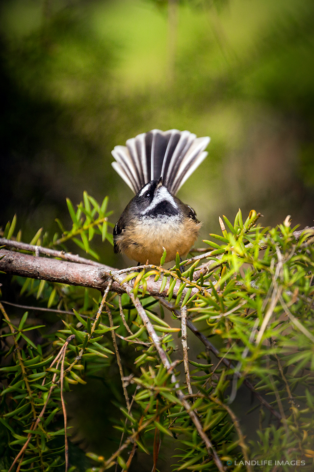 New Zealand Fantail, Looking to the Sky