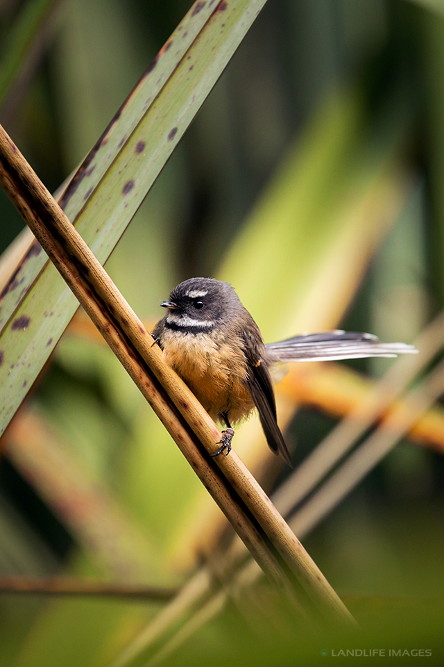 New Zealand Fantail (pīwakawaka) amongst native flax