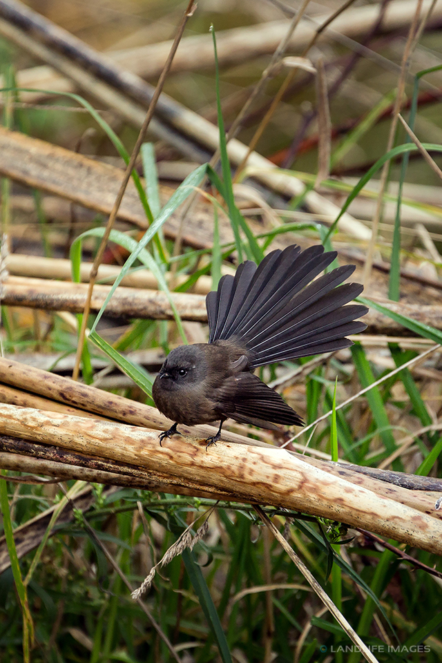 New Zealand black fantail (pīwakawaka) amongst native flax