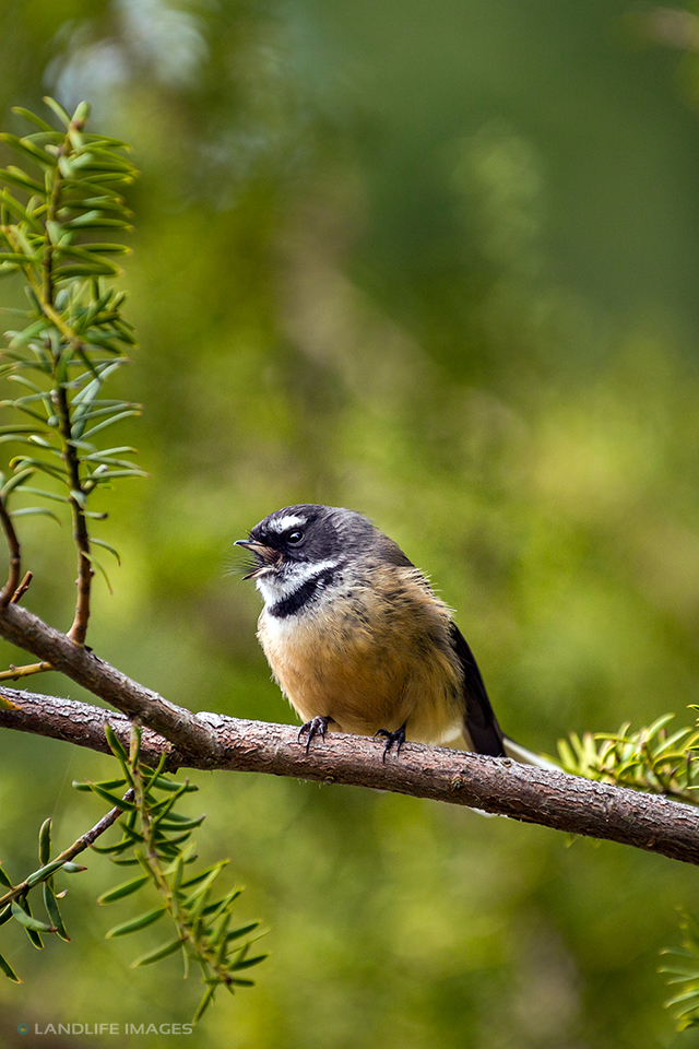 New Zealand Fantail (pīwakawaka) singing