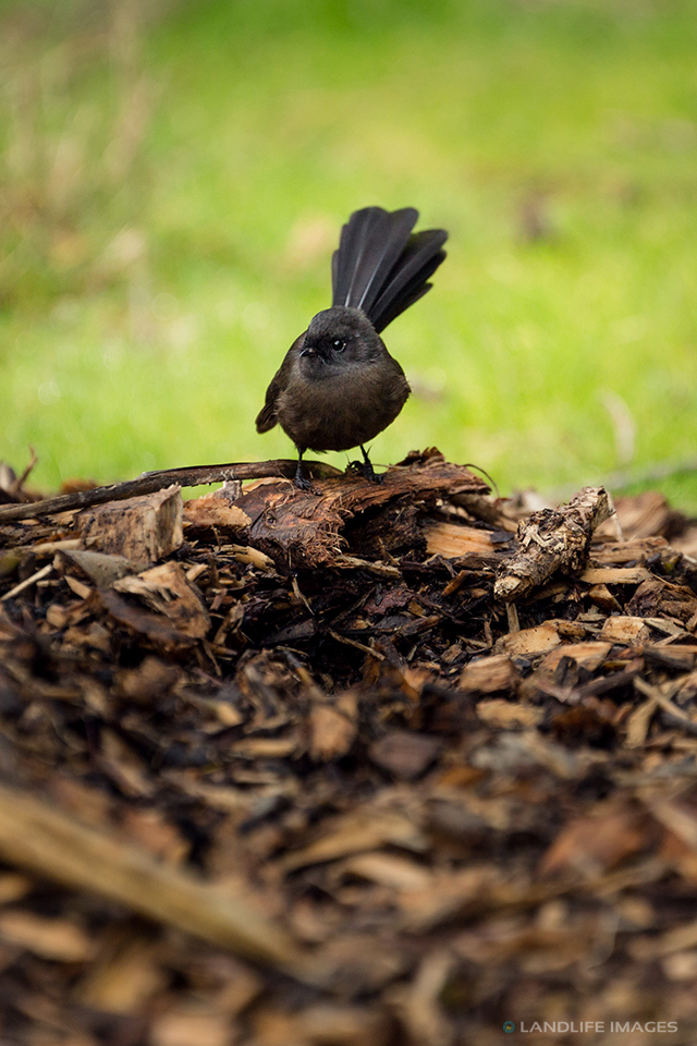 New Zealand Black Fantail (pīwakawaka)