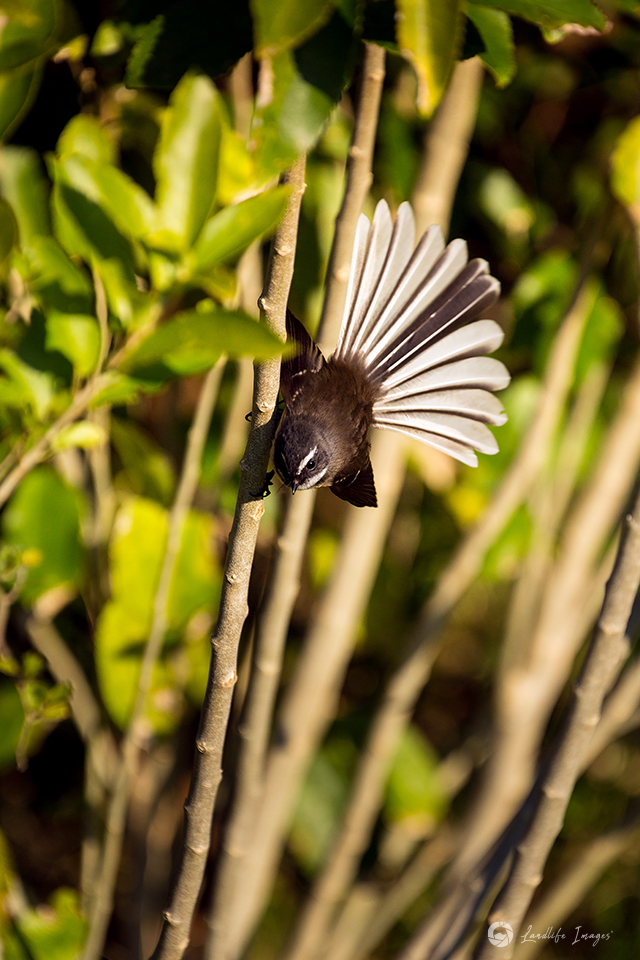 New Zealand fantail (pīwakawaka) with tail in full fan