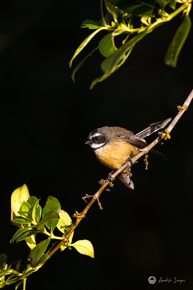 New Zealand fantail (pīwakawaka) watching bugs at sunset