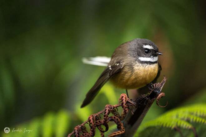 New Zealand fantail (pīwakawaka) in native bush