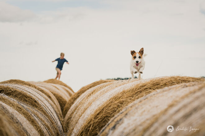 Jack Russell terrier enjoying the haybale run