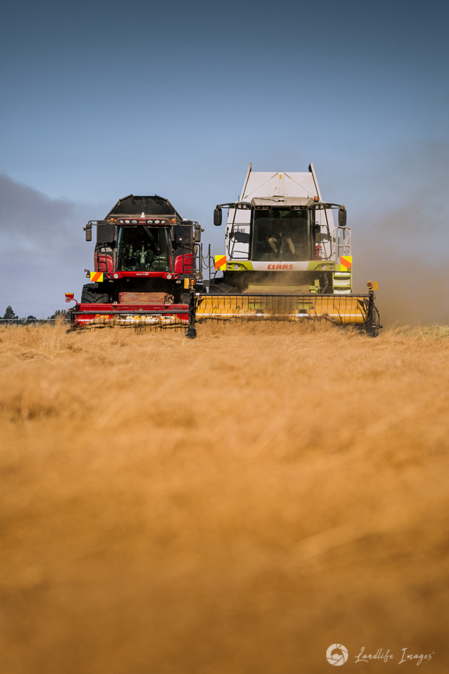 Two harvesters side by side harvesting brown top, Methven, Canterbury, New Zealand - portrait dimensions