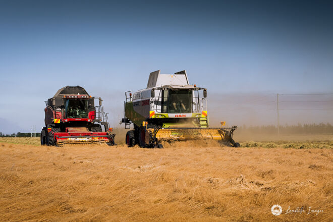 Two harvesters harvesting brown top, Methven, Canterbury, New Zealand