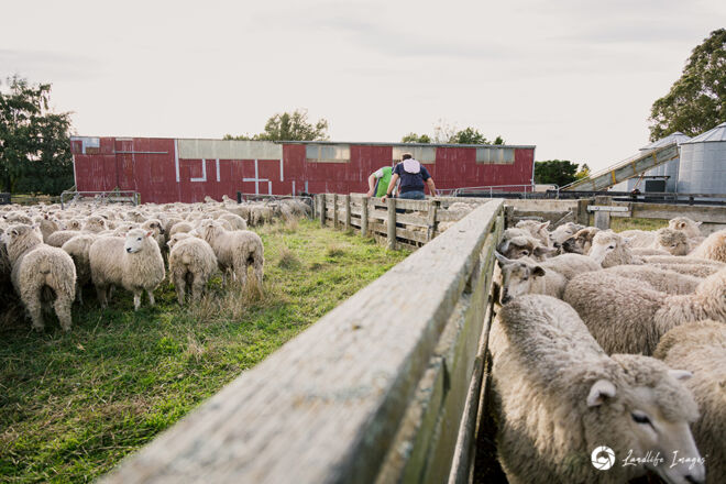 Drenching sheep in yards, Methven, Canterbury, New Zealand