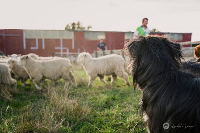 Sheep and border collie dog in yards
