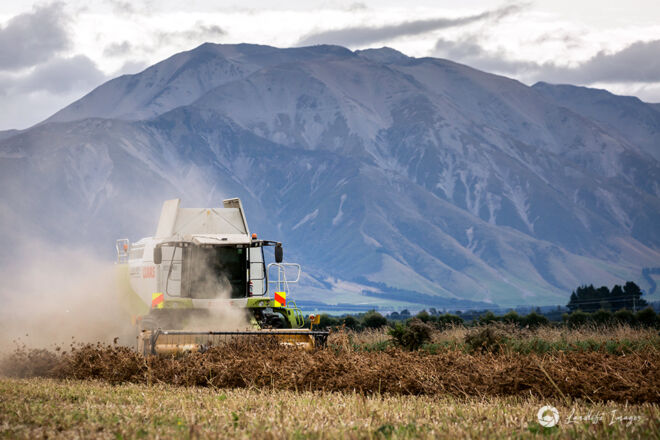Harvesting of carrot seed with mountain backdrop, Methven, Canterbury, New Zealand