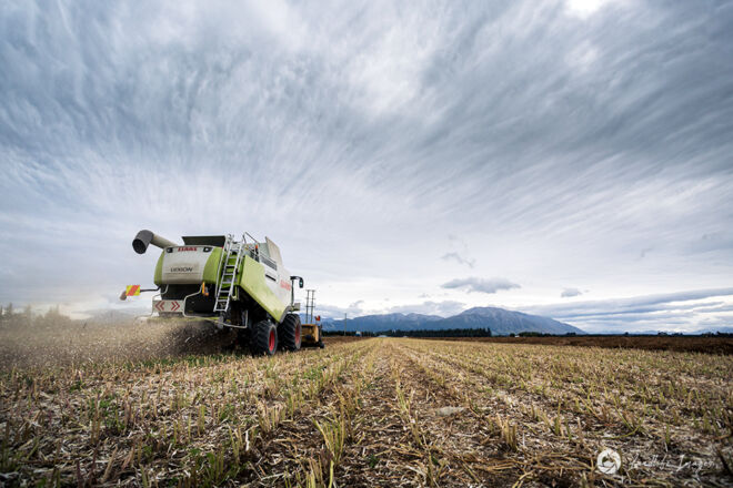 Harvesting of carrot seed, Methven, Canterbury, New Zealand