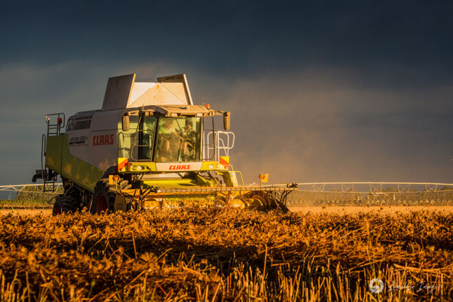 Sunset harvest of carrot seed, Methven, Canterbury, New Zealand
