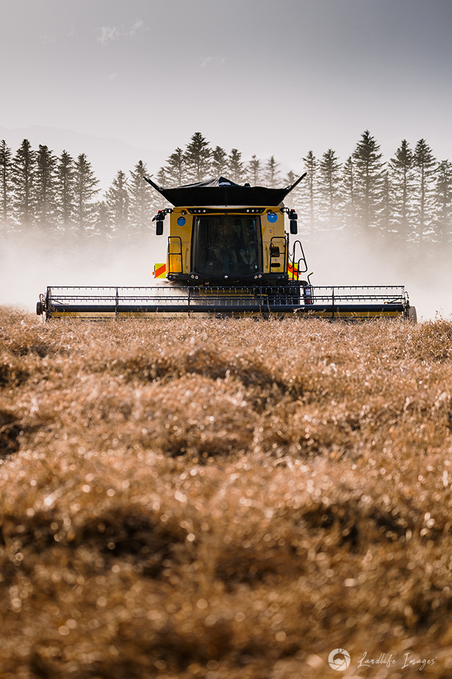 Harvesting of radish, Methven, Canterbury, New Zealand - portrait dimensions