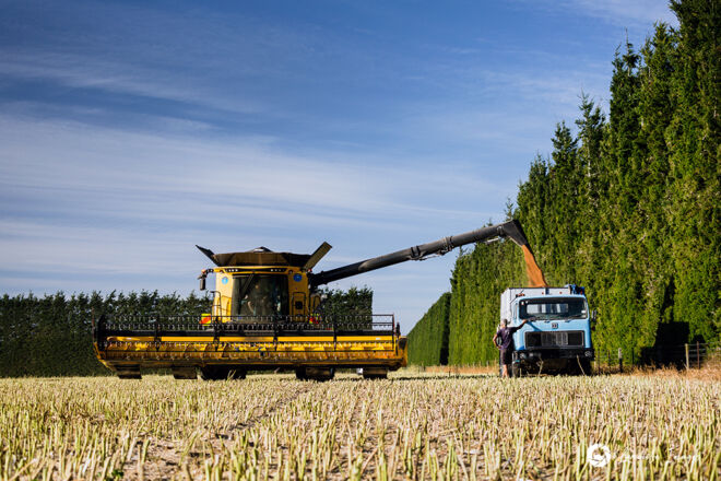 Harvester unloading radish seed, Methven, New Zealand