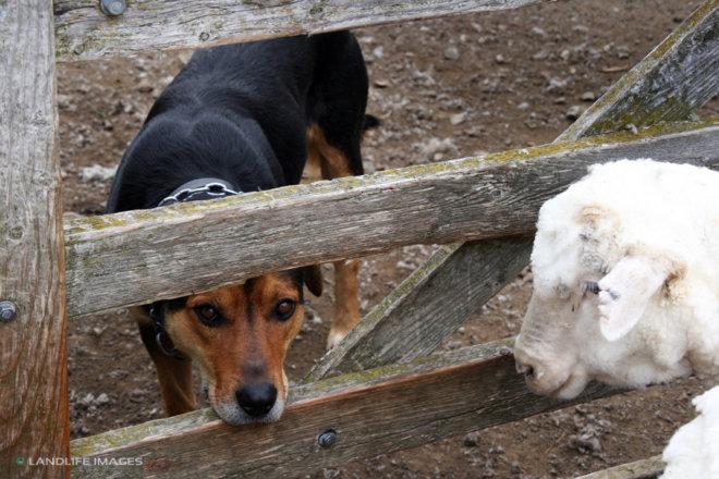 Huntaway and sheep in yards, North Canterbury, New Zealand