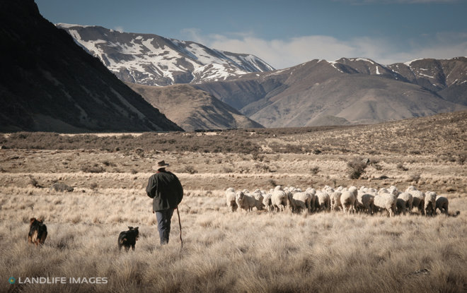 Musterer and his dogs, North Canterbury High Country, New Zealand