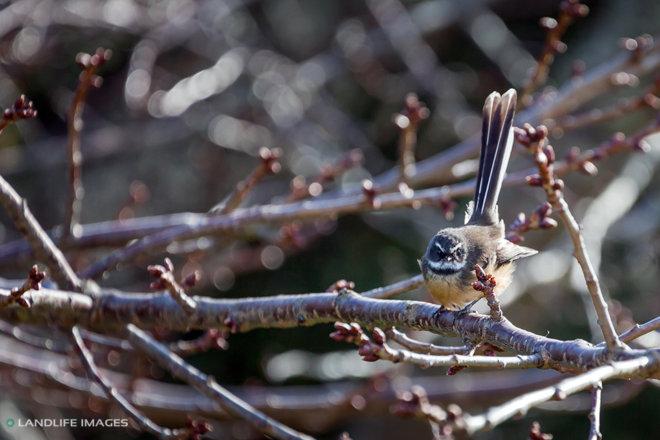 Native New Zealand Fantail/pīwakawaka (Rhipidura Fuliginosa) sitting on tree branch. New Zealand