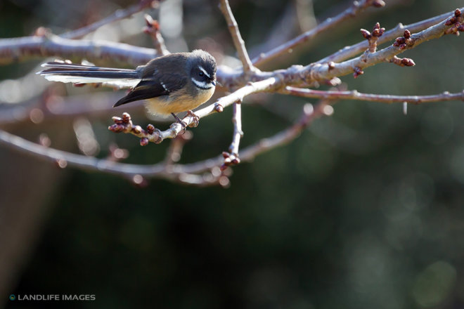 Native New Zealand Fantail (Rhipidura Fuliginosa) sitting on tree branch