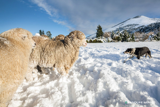 Round ups in the snow, North Canterbury, New Zealand