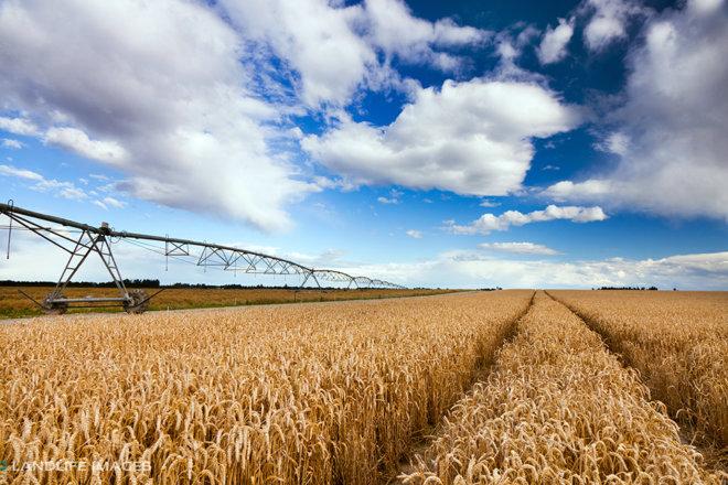 Path through wheat, Methven, New Zealand