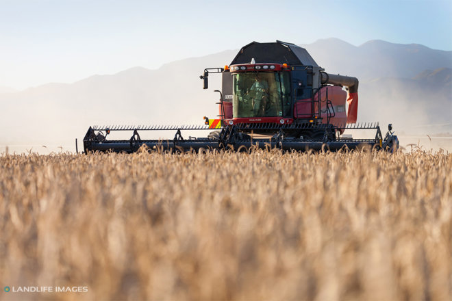 Wheat harvest, Methven, New Zealand