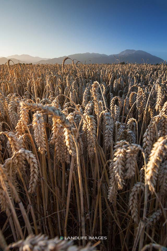 Fields of wheat, Methven, New Zealand