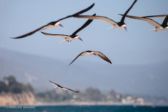 Birds over Santa Barbara Beach